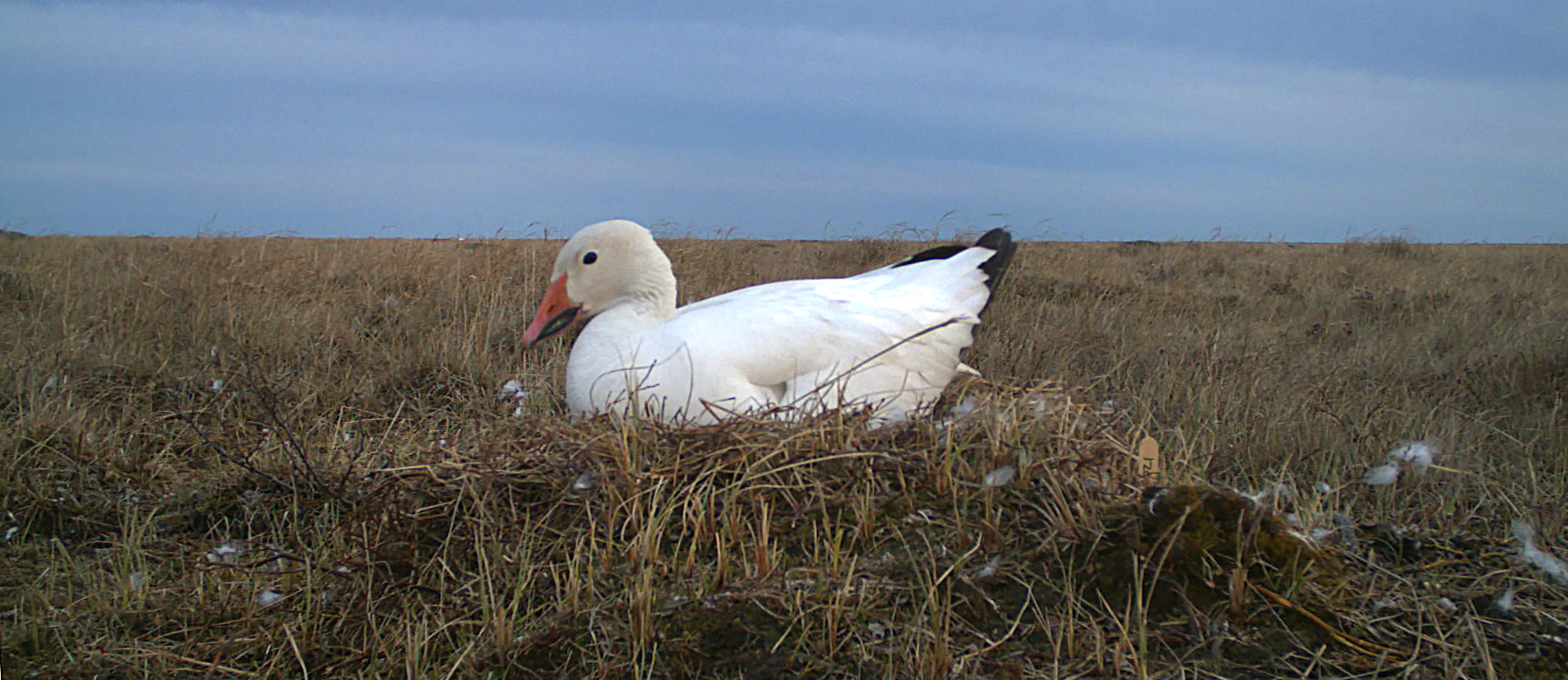 Light goose on nest in arctic