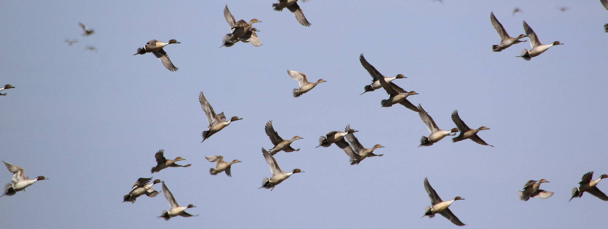 Pintails flying